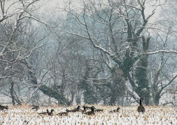 Christmas Geese