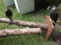 Harris hawks, on exhibit with other raptors, from the New York Wildlife Rescue.