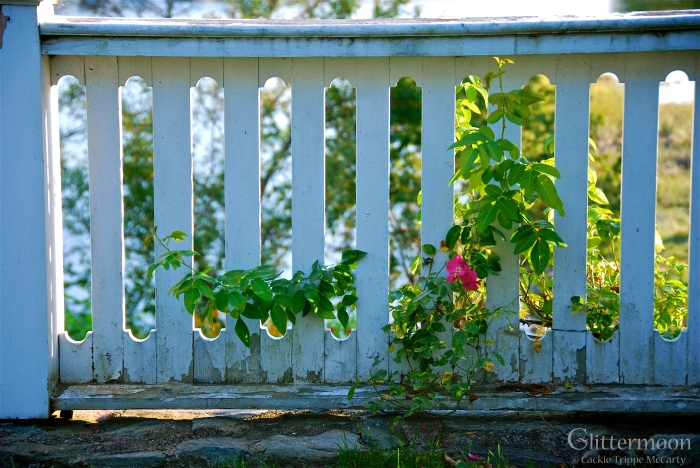 Rose rambling along a picket fence in Wiscasset, ME